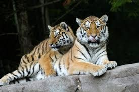Совместимость мужчины и женщины тигра